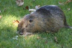 Nutria, beaver rat Stock Photos
