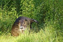 Nutria, beaver rat Stock Image