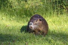 Nutria, beaver rat Stock Photo