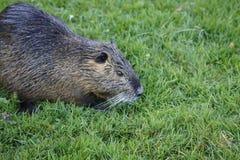 Nutria, beaver rat Royalty Free Stock Images