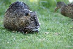 Nutria, beaver rat Royalty Free Stock Photo