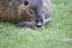 Nutria, beaver rat Royalty Free Stock Photography
