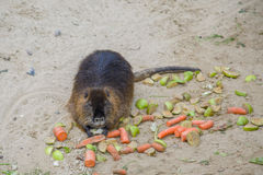 Nutria. In the Berlin zoo Royalty Free Stock Image