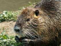 Nutria. A big rodent eating some food. (Prato - Italy Stock Image