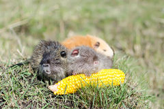 Nutria bite corn Stock Image