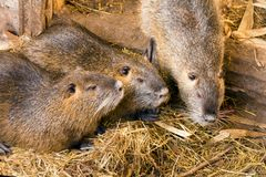 Nutria brood close-up on the farm. Three friends of the concept. Of friendship royalty free stock image