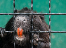 Nutria in the cage. Nutria with orange teeth in the cage Royalty Free Stock Image