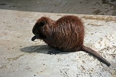 Nutria. In captivity at the zoo royalty free stock images