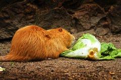 Nutria che mangia insalata Fotografia Stock