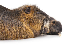 Nutria with child. Stock Photography