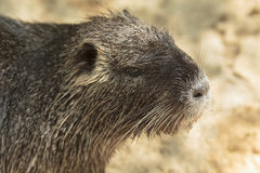 Nutria close-up Royalty Free Stock Image