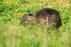 Nutria, close-up. On a meadow in the green grass Royalty Free Stock Images
