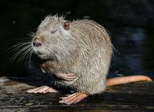 Nutria close up. Very funny coypu portrait. Posing nutria. Zoo animals.  stock images