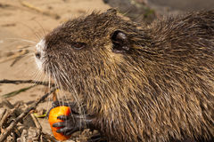 Nutria (Coypu) Stock Photo