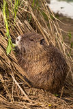 Nutria (Coypu) Stock Photos
