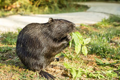 Nutria, or coypu, or swamp beaver lat. Myocastor coypus, a mammal of the rodent Stock Image