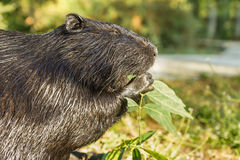 Nutria, or coypu, or swamp beaver lat. Myocastor coypus, a mammal of the rodent eats the green leaves Stock Photography