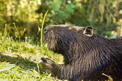 Nutria, or coypu, or swamp beaver lat. Myocastor coypus, a mammal of the rodent eats green leaves. Large Royalty Free Stock Photography
