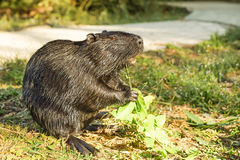 Nutria, or coypu, or swamp beaver lat. Myocastor coypus, a mammal of the rodent, the only species of the family natrievyh Myoca Stock Photography