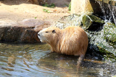 Nutria or coypus Stock Images