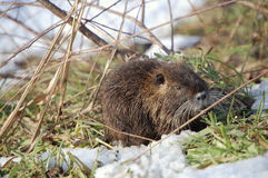 Nutria cub Stock Photography