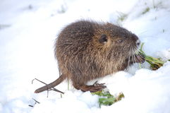 Nutria cub eating. Grass,winter time,close up Royalty Free Stock Photo