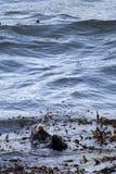 Nutria de mar Fotografía de archivo