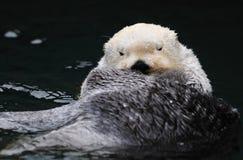 Nutria de mar blanco ártica Foto de archivo libre de regalías
