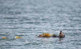 Nutria de mar en Alaska Foto de archivo
