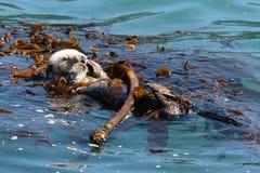 Nutria de mar que juega en el océano fotografía de archivo libre de regalías