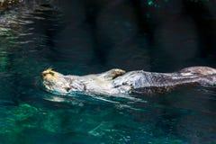 Nutria de mar reclinada en el agua Imagen de archivo libre de regalías