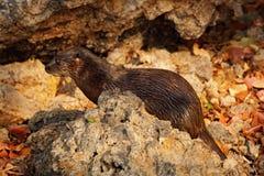 Nutria de Neotropical, longicaudis de Lontra, sentándose en la costa del río de la roca, animal raro en el hábitat de la naturale Fotos de archivo