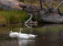 Nutria de observación del cisne de Trumpter Imagen de archivo