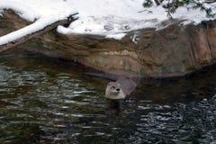 Nutria del río Canadian (canadensis del Lutra) Fotografía de archivo