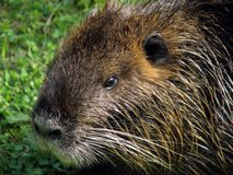 Nutria detail Stock Photos