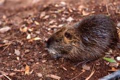 Nutria do rato do rio do Coypu conhecido como coypus do Myocastor Foto de Stock
