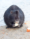 Nutria eat bread Stock Images
