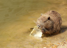 Nutria eat cabbage at a pond Royalty Free Stock Images