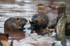 Nutria eating Stock Photo