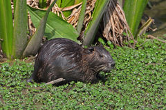 Nutria in einem flachen Teich - Beaumont, Texas Stockfotografie