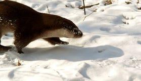 Nutria en el bosque del invierno Fotos de archivo