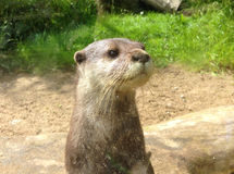Nutria en parque zoológico en Dublín, Irlanda Foto de archivo