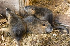 Nutria farm. Close-up cultivation of nutria as valuable fur and stock images