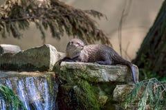nutria Fauna escénica de la orilla Mentira animal pintoresca en el ro Foto de archivo libre de regalías