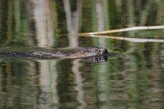 Nutria-Flöße auf dem Fluss lizenzfreie stockfotografie