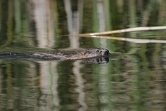 Nutria floats on the river royalty free stock photography