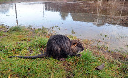 Nutria after a flood Royalty Free Stock Photography