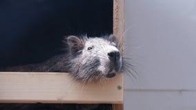 Nutria-Flussratte, die in der Hütte kühlt lizenzfreies stockfoto