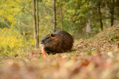 Nutria Stock Photo