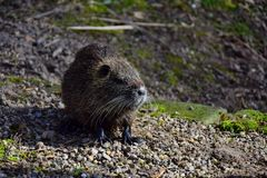 A nutria from the front. The white whiskers are good to see. The sunlight coming in from the side stock images